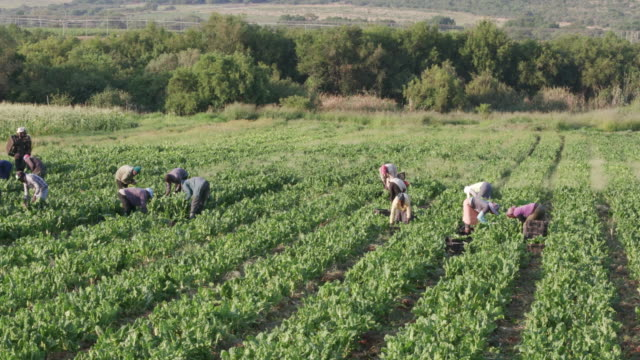 Panning shot of field with workers harvesting spinach video