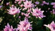 panning shot of Full blooming Chrysanthemum flowers in the garden video