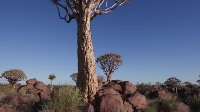 4K panning shot of quiver tree/kokerboom video