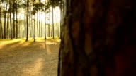 panning: sunshine in pine Forest at sunrise video