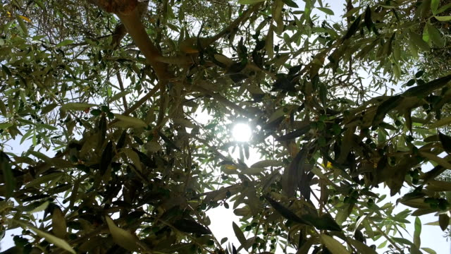 Panning Through Top Branches of Olive Tree video