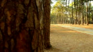panning: tropical pine Forest and dirty road in Thailand video