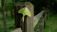 Panning view of Lime-green Luna Moth on Split Rail Fence Post Close-Up video