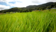 panning: winter wind come on Ban Mae Klang Luang rice paddy video