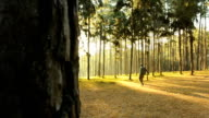 panning: yong man walk to sunshine in pine Forest in Thailand video