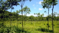 panning : young rubber tree garden in south of Thailand video
