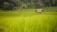 panning:a small hut on Pa Pong Pieng rice terraced field video