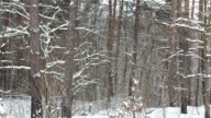 Panorama in winter forest during a snowfall. video