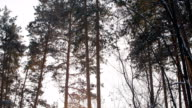 panorama of huge aged snowy pines, pink sunset in winter forest video