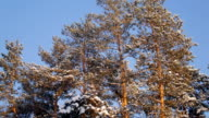 panorama of huge snowy pines, standing in winter forest on background of vivid blue sky video