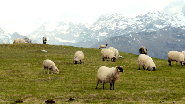 Panorama of the  pastures in the Montenegro, sheep graze video