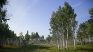 Panorama view of trees growing on glade located at forest edge video