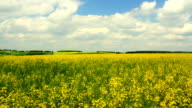 Panorama with a rapeseed field. video