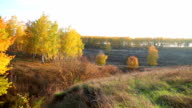 Panoramic view of autumn landscape with golden birch video