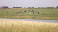 Panoramic view of cattle grazing on pond side video