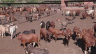 Panoramic view of cattle in a feedlot video