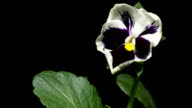 Pansy Flower Time-Lapse video