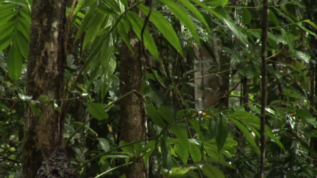 Papa New Guinea forest video
