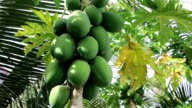 Papaya fruit ripening on the tree video