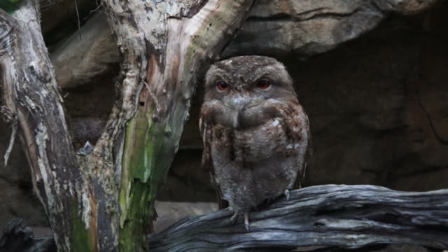 Papuan frogmouth video
