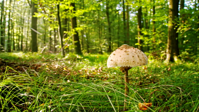 WS Parasol Mushroom In The Forest video