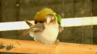 Parrot breeding video