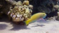 Parrot Fish video