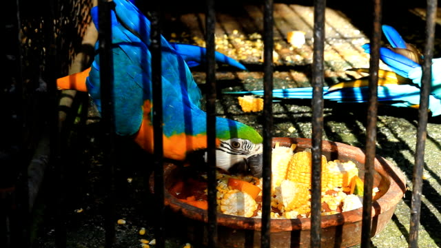 Parrot in a cage eating corn. video