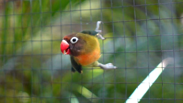 Parrot jumping in cage,Slow motion video