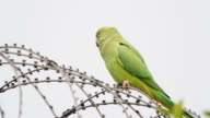 Parrot sitting on barbed wire video