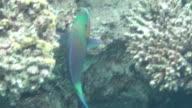 parrotfish dahab video