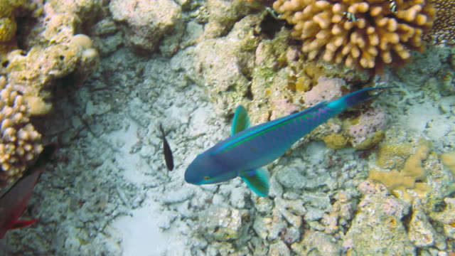 Parrotfish on coral reef video