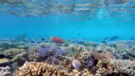 Parrotfishes and surgeonfishes on shallow coral reef / Maldives video
