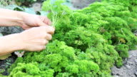 parsley herbs video