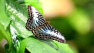 Parthenos Sylvia (Clipper Butterfly) on a green leaf video