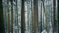 Passing Beautiful Tall Forest Trees In Snowfall video