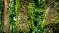 Passing Mossy Tree Trunks In Forest video