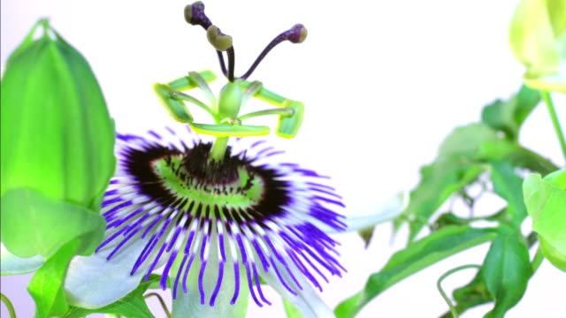 Passion fruit flower blooming HD video
