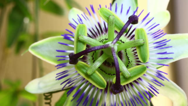 Passion fruit flower blooming video