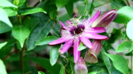 Passion fruit flower video