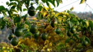 passion fruit video