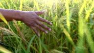 Pat rice in rice field video