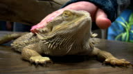 Pat the Lizard video