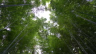 Path to bamboo forest at Arashiyama in Kyoto video