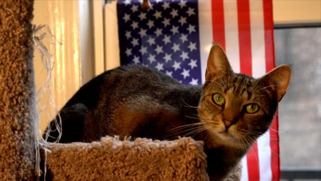 Patriotic Cat video