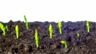 Pea sprouts grow, tilt time-lapse video