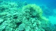 Peaceful Life of a Coral Reef video