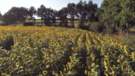 Peaceful Sunflower Field video