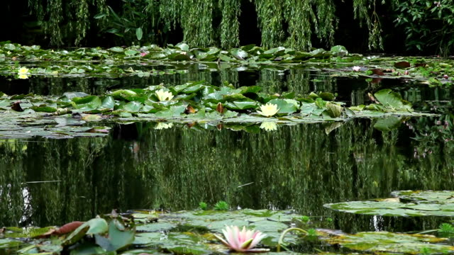 Peaceful Water Lilies, France. video