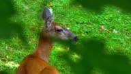 Peaceful Whitetail Deer Doe Rests in Grass Meadow Field in Spring video